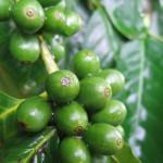 zelena-kava-